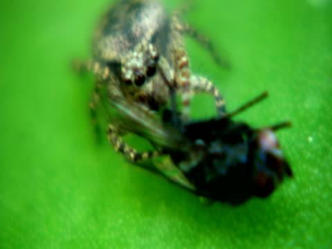 ragno caccia - arto inferiore animale video stock e b–roll