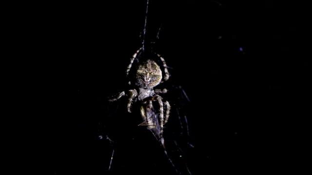 Spider illuminated against blackness, hunting his victim video