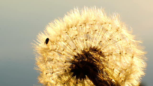 Spider in the sun shining at dandelion dawn background video