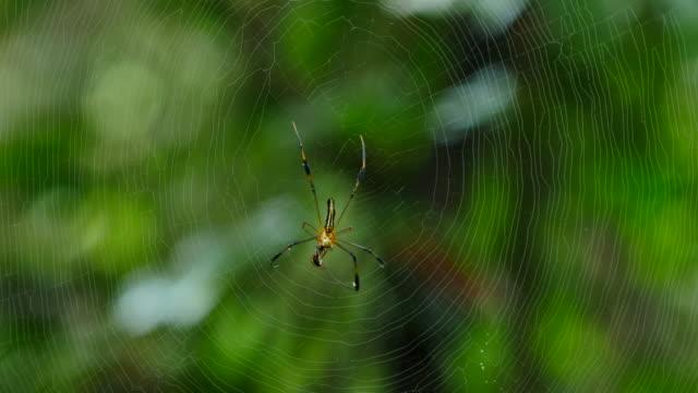 spindel är jagas och dödas på webben i skogen. - djurlem bildbanksvideor och videomaterial från bakom kulisserna
