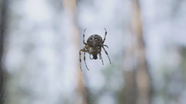 A spider is on the web between trees at a forest during the summer.