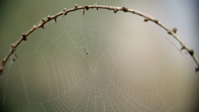 Spider Making Dew Covered Web In Autumn Woodland video
