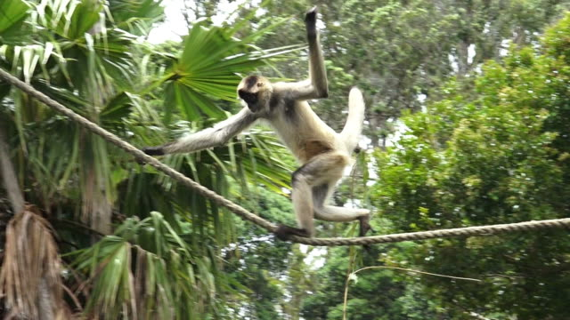 Spider monkey play on a rope video