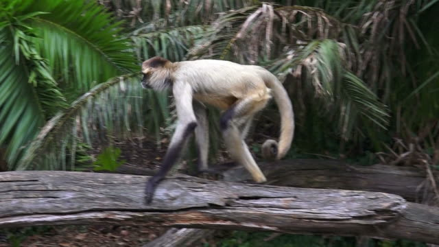 Brown Spider Monkey Stock Videos and Royalty-Free Footage