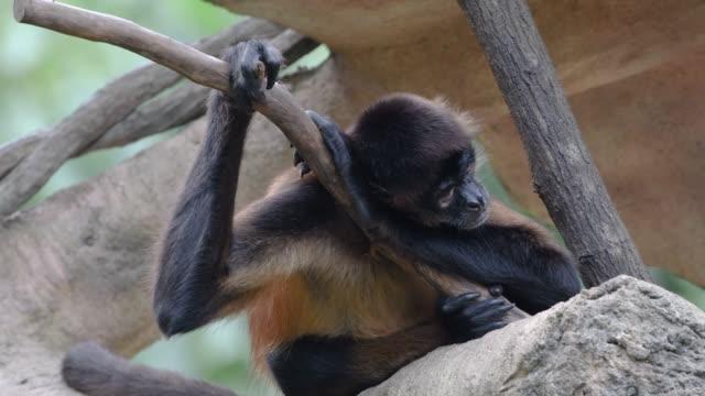 spider monkey sleeping in tree - formaggio comté video stock e b–roll