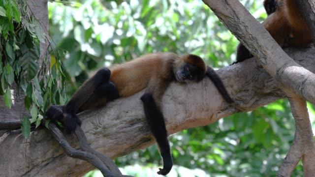vidéos et rushes de singe-araignée dormir dans les arbres - zoo