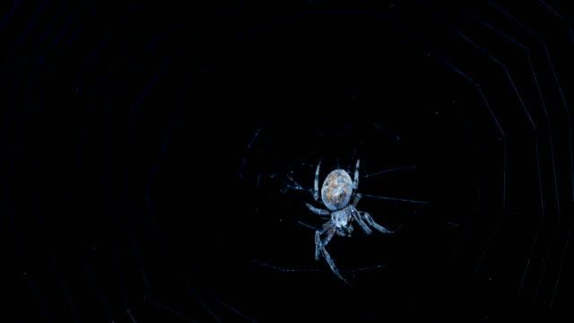 spindel natt jägare - spindelväv bildbanksvideor och videomaterial från bakom kulisserna