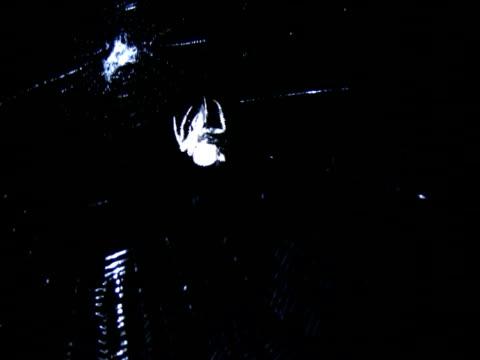 pająk ntsc - zachowanie zwierzęcia filmów i materiałów b-roll