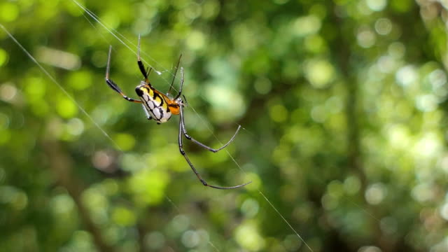 Spider on cobweb. Spider on cobweb in tropical rain forest. hanging stock videos & royalty-free footage