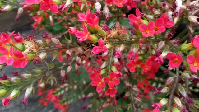 spider on kalanchoe flower