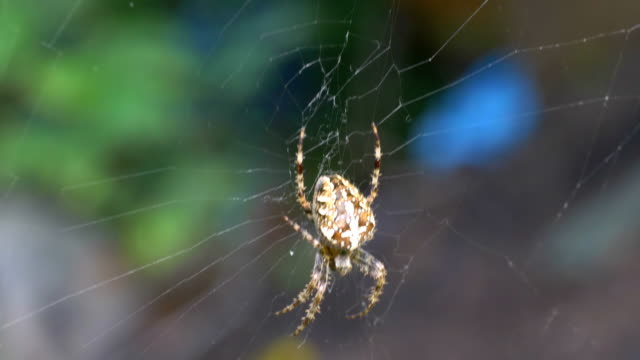 Spider on the spider web in 4K video