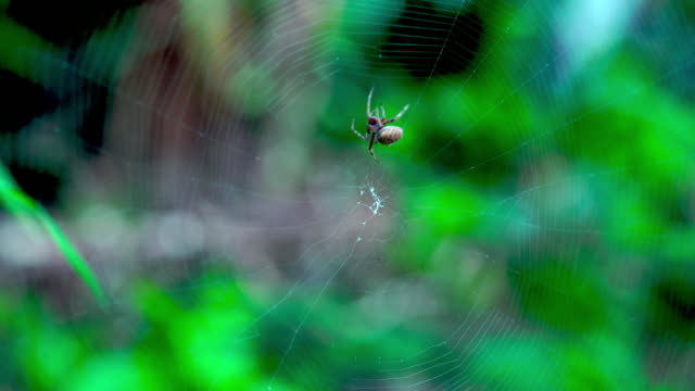 Spider spinning its web in rainy season in Thailand