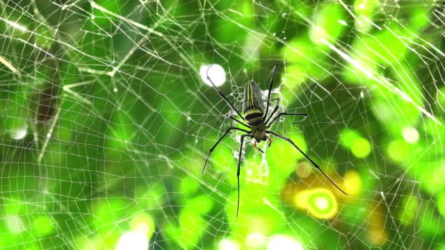 spindel går på spindelnät - spindel arachnid bildbanksvideor och videomaterial från bakom kulisserna