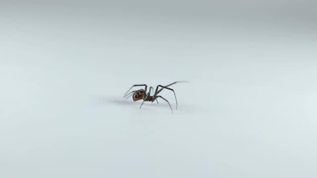 spindel gå på vit bakgrund - spindel arachnid bildbanksvideor och videomaterial från bakom kulisserna