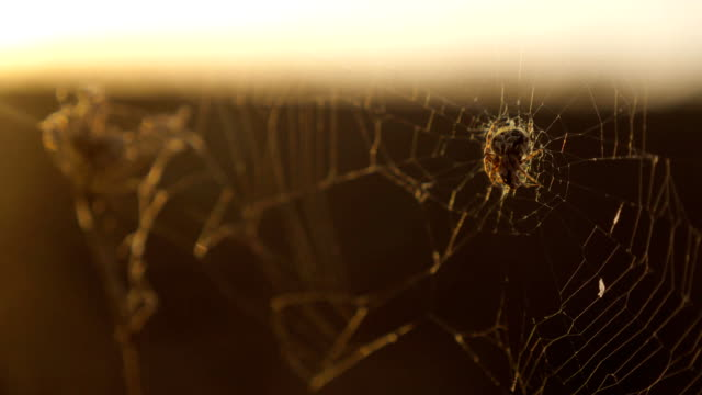 spider web cobweb on the sunset insect varicoloured insect lifestyle background . the spider hunts nature concept - vídeo