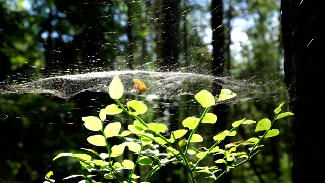 Spider Web in the Tree video