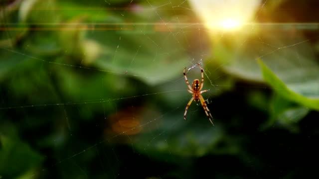 spider arbetar på spindelnät - spindel arachnid bildbanksvideor och videomaterial från bakom kulisserna