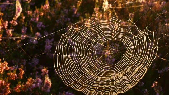 spider's web i blommande ljung växter i tidig höst morgon ljus under sunrise. - spindelväv bildbanksvideor och videomaterial från bakom kulisserna