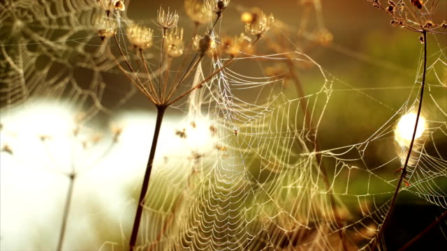 spider's web morning dawn river video