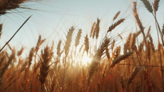 spikelets of mature wheat prick in the wind. the setting sun shines through the wheat. 4k slow motion video - orzo video stock e b–roll