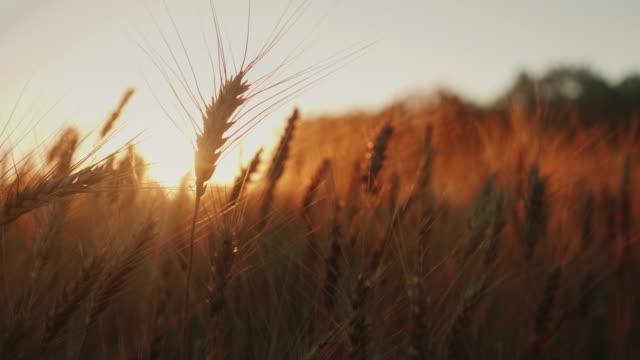 夕暮れ時の小麦の穂。スローモーションのビデオ風に揺れる - 大麦点の映像素材/bロール