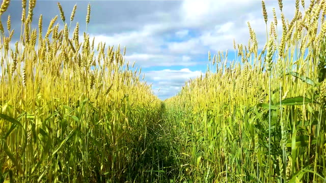 Spikelets of wheat in the wind video