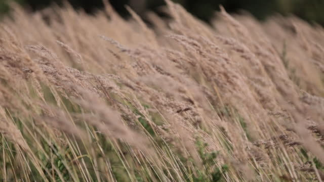 Spikes of grass under the gusts of the wind video