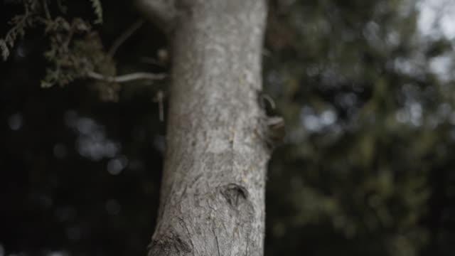 Spil Mountain pine tree forest single spill Single spill Trees, Tree Body, Woodland, Plant, Black - Natural phenomenon aegean turkey stock videos & royalty-free footage