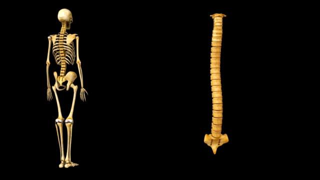脊髄脊椎 - カイロプラクター点の映像素材/bロール