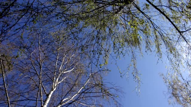 Spinning, turning round among the birch trees, blue sky from below view, spring video