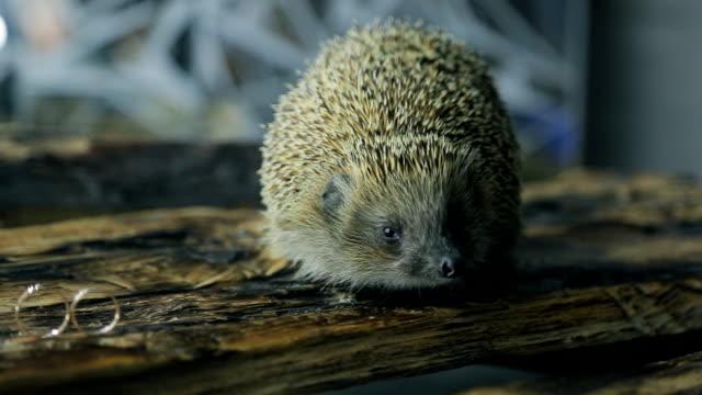 Spiny cute grey hedgehog symbol on wedding day indoors video