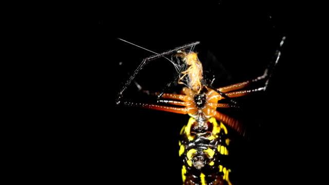 とげのあるグリーンリンクススパイダー(gasteracantha sp .) - 尖っている点の映像素材/bロール