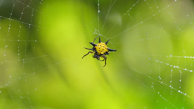 Spiny Orb-Weaver Spiders in tropical rain forest. video