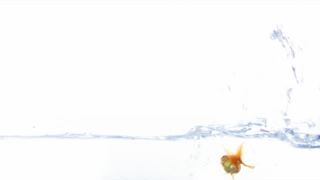 Splash Jumping Red fish . video