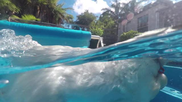 split view of west highland white terrier westie dog swimming in blue pool at water surface, half underwater and above. filmed in summer, kerikeri, new zealand, nz - terrier video stock e b–roll