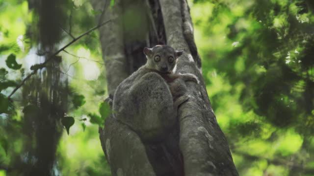 sportiga lemur (lepilemur) - lemur bildbanksvideor och videomaterial från bakom kulisserna