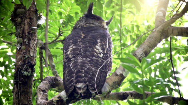 Spot bellied Eagle owl in the forest video