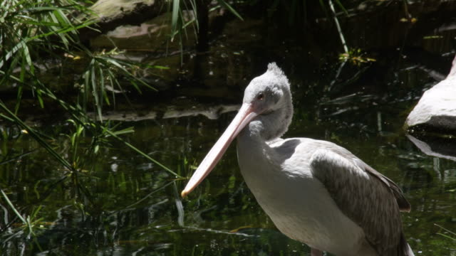Spot billed pelican in a river in a natural park -  Pelecanus philippensis Spot billed pelican in a river in a natural park -  Pelecanus philippensis pelican stock videos & royalty-free footage
