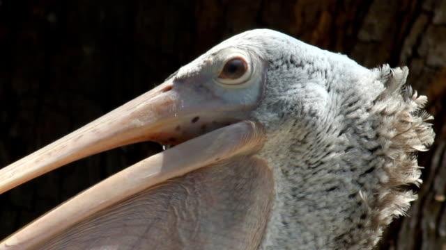 Spot-billed pelican.
