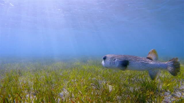 Spot-fin porcupinefish / Diodon hystrix swimming on seagrass bed - Red Sea / Marsa Alam video