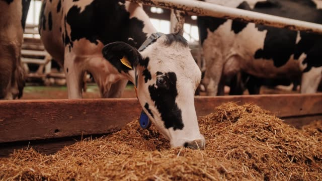 a spotted cow slowly chews hay. close up. livestock. - ssaki kopytne filmów i materiałów b-roll