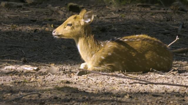 spotted deer and a wasp - jelonek filmów i materiałów b-roll