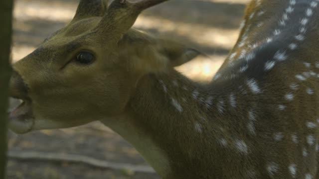 spotted deer eating an apple. - jelonek filmów i materiałów b-roll