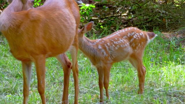 spotted deer fawn with doe mother - jelonek filmów i materiałów b-roll