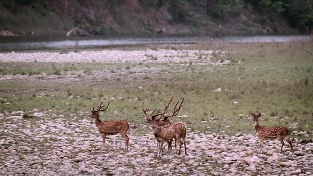 spotted deer in bardia national park, nepal - park narodowy kanha filmów i materiałów b-roll