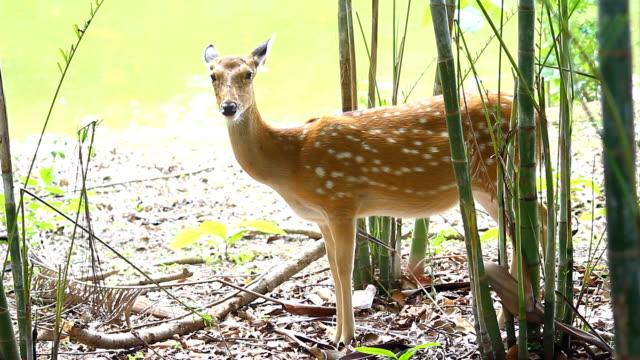 benekli geyik wayanad, kerala, hindistan. - benekli geyik stok videoları ve detay görüntü çekimi