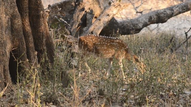 spotted deer (axis axis) national park, india - poroże filmów i materiałów b-roll