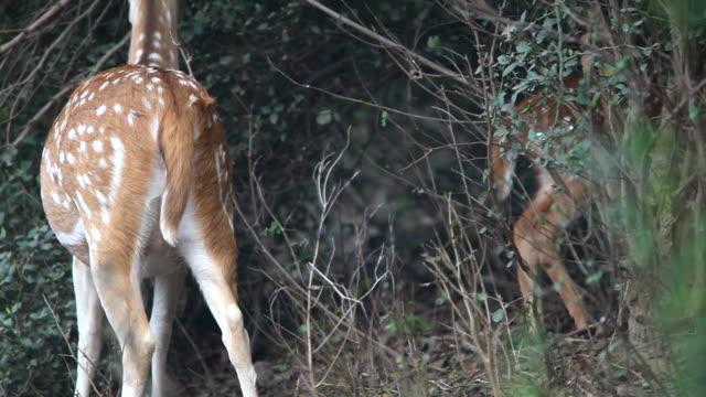 spotted deer - benekli geyik stok videoları ve detay görüntü çekimi