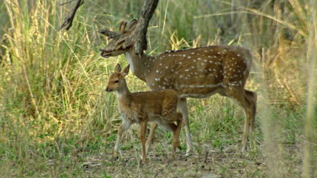 spotted deer with fawn, peacock - jelonek filmów i materiałów b-roll