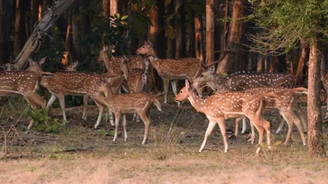 Spotted deers are alert because of predators around